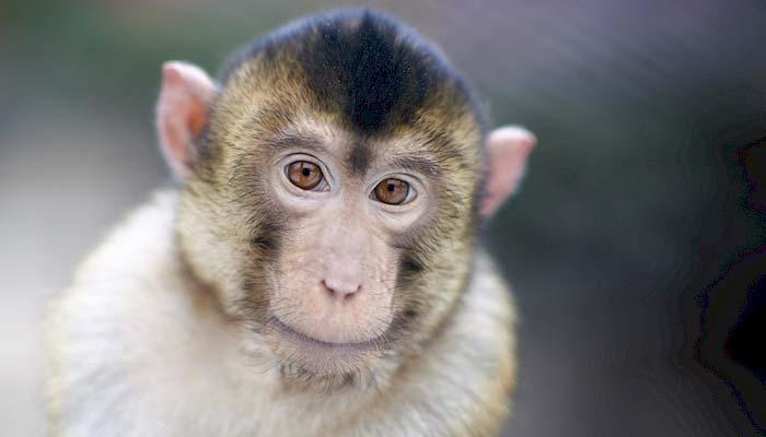 Affe in odense Zoo auf der Insel Fünen